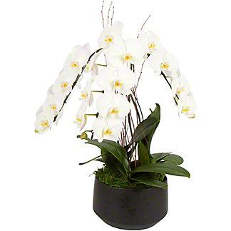 Grande X Black Crown Large Phalaenopsis Orchid, ea