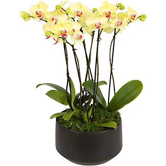 Assorted London X Black Crown Phalaenopsis Orchid, ea