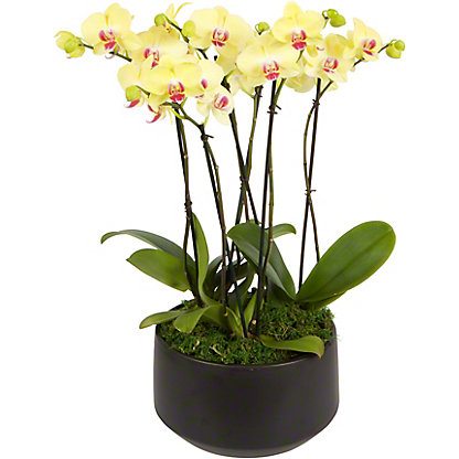 Assorted London X Black Crown Phalaenopsis Orchid, ea