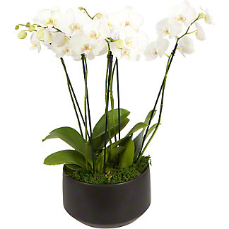 White London X Black Crown Large Phalaenopsis Orchid, ea