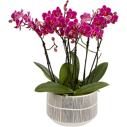Assorted Windsor X Stripes Crown Small Orchid, ea