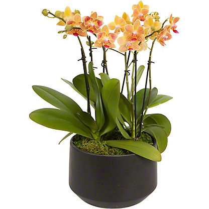 Assorted Windsor X Black Crown Small Orchid, ea