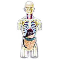 4D-Transparent Human Torso Anatomy Model