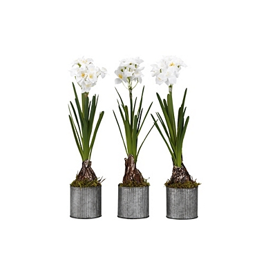 Paperwhite Bulbs In Tin Planters Set Of 3 Kirklands
