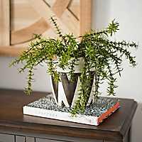 Asparagus Fern Bush