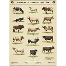 Cavallini Cow Chart Wrapping Paper