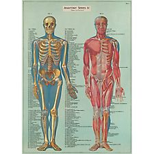 Cavallini Anatomy Wrapping Paper