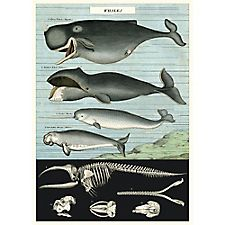 Cavallini Whale Chart Wrapping Paper