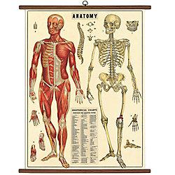 Cavallini Anatomy Vintage School Chart - 40