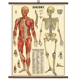 Anatomy Vintage School Chart