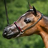 Ozark Triumph Closed Ring Halter