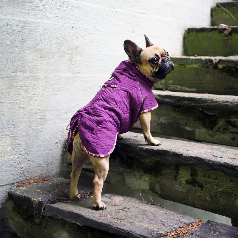 French Bulldog wearing a purple jacket from Dog.com