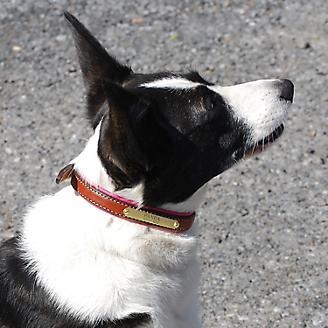 Personalized Corgi Dog Collar