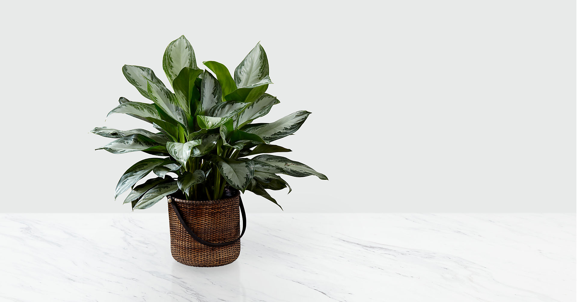 The Chinese Evergreen Plant - BASKET INCLUDED - Image 1 Of 2