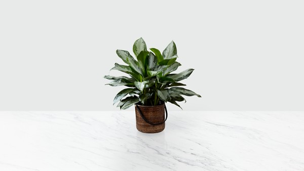 The Chinese Evergreen Plant - BASKET INCLUDED - Thumbnail 1 Of 2
