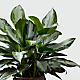 The Chinese Evergreen Plant - BASKET INCLUDED - Thumbnail 2 Of 2