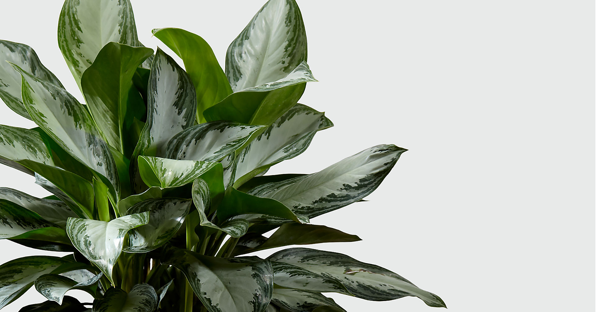 The Chinese Evergreen Plant - BASKET INCLUDED - Image 2 Of 2