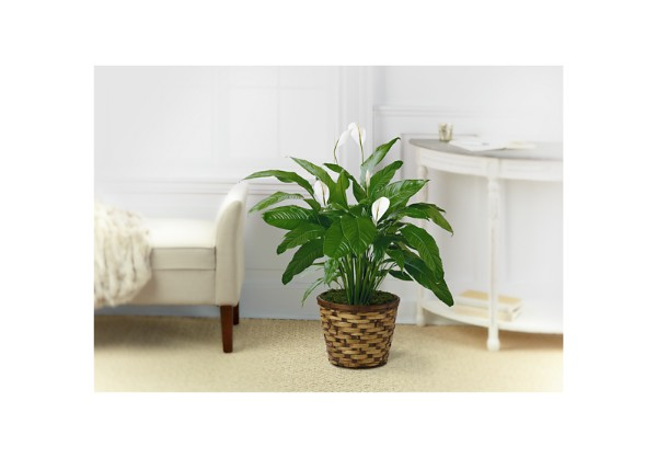The Spathiphyllum Plant - Thumbnail 1 Of 2
