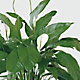 The Spathiphyllum Plant - Thumbnail 2 Of 2