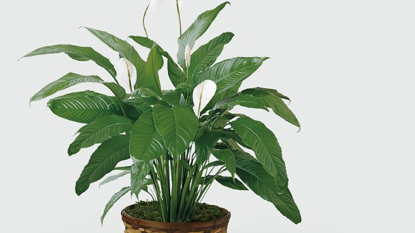 The Spathiphyllum Plant - Image 2 Of 2