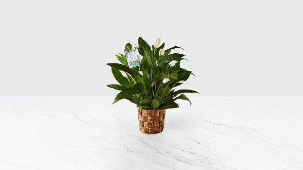 DaySpring® Sincere Sympathies Peace Lily - Thumbnail 1 Of 2