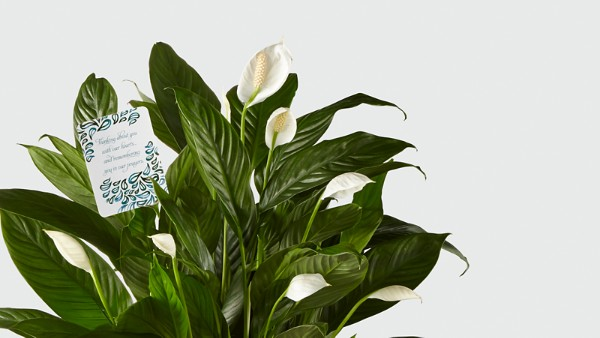 DaySpring® Sincere Sympathies Peace Lily - Image 2 Of 2