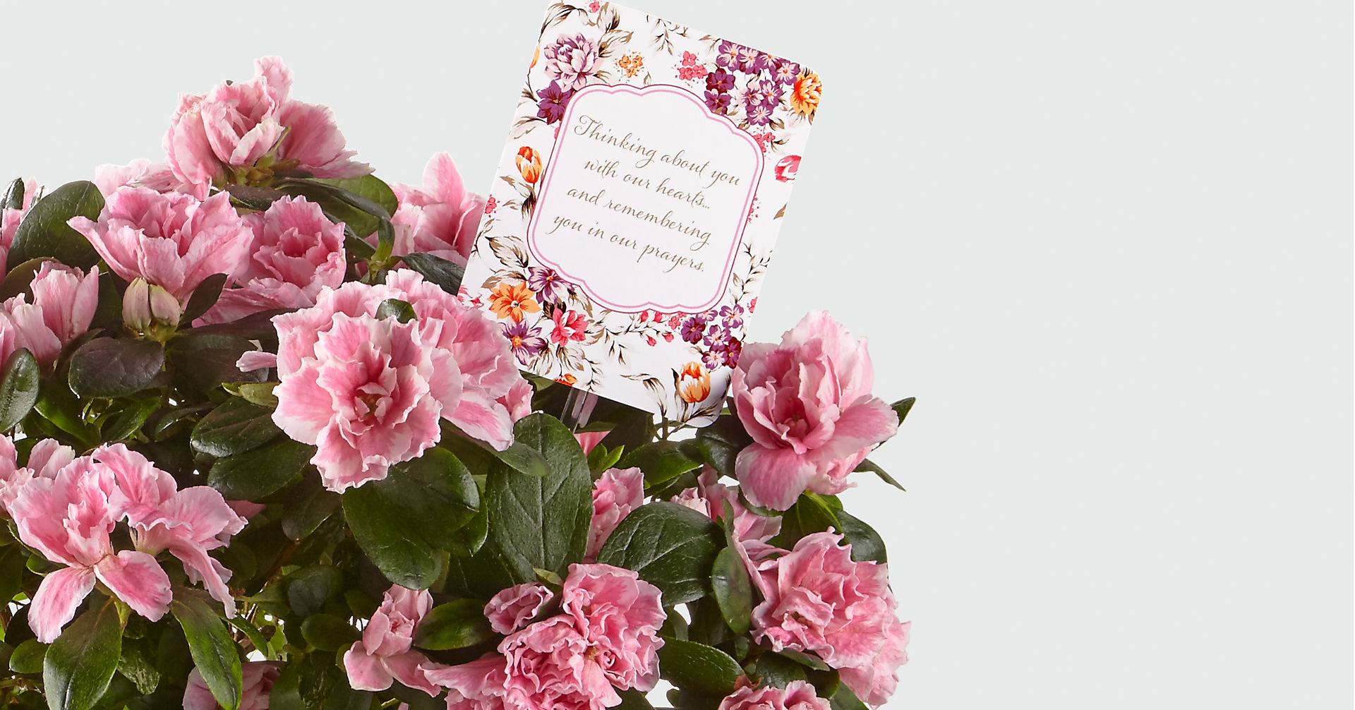 DaySpring® Always in Our Hearts Sympathy Azalea - Image 2 Of 2