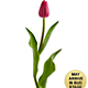 Merry Moments Holiday Tulip Bouquet- 15 Stems- VASE INCLUDED - Thumbnail 2 Of 2