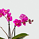 Sweet Celebrations Birthday Orchid - Thumbnail 2 Of 2