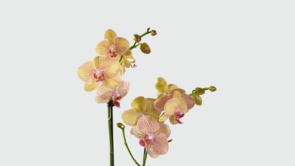 Sweet Celebrations Birthday Orchid - Image 2 Of 2