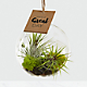Just for You Hanging Air Plant - Thumbnail 1 Of 2