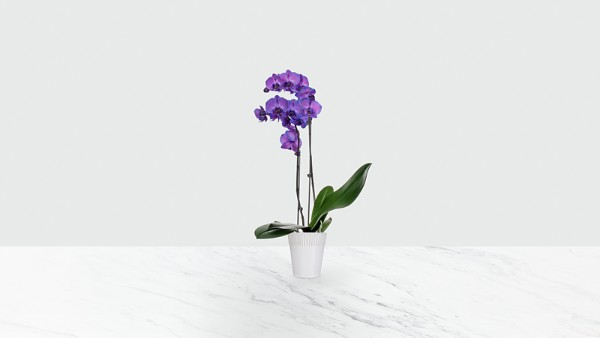 Radiant Purple Prism Orchid - Image 1 Of 2