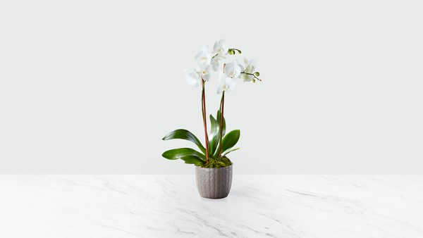 Serenity Phalaenopsis Orchid - Image 1 Of 2