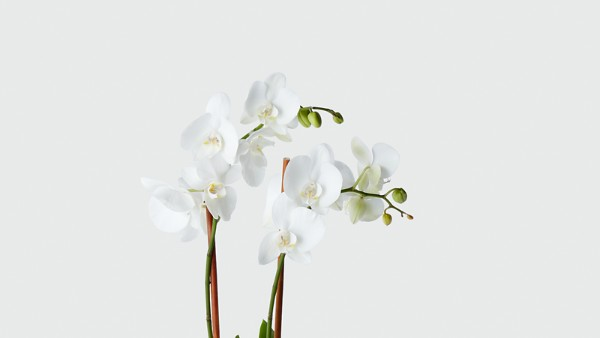 Serenity Phalaenopsis Orchid - Image 2 Of 2