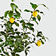 Citrus Sightings Lemon Tree - Thumbnail 2 Of 2