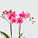 Pure Radiance Orchid - Thumbnail 2 Of 3