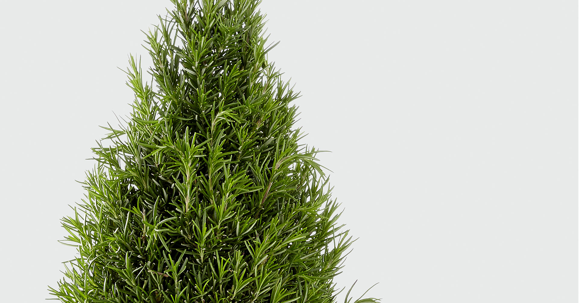Culinary Dreams Rosemary Tree - Image 2 Of 2