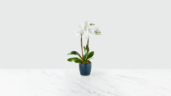 Peacefully Blessed Orchid- Blue & White - Image 1 Of 2