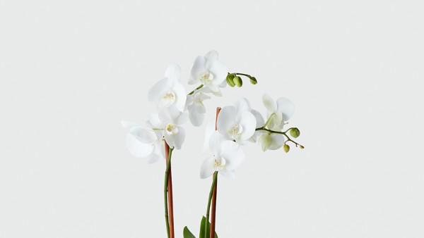 Peacefully Blessed Orchid- Blue & White - Image 2 Of 2