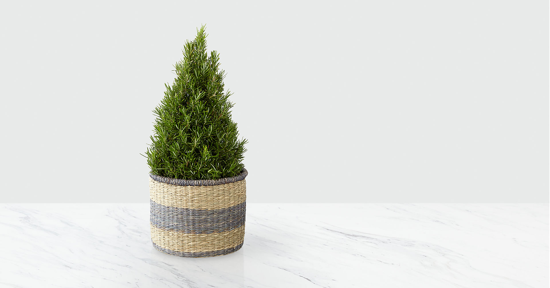 Fall Fresh Rosemary Tree - Image 1 Of 2