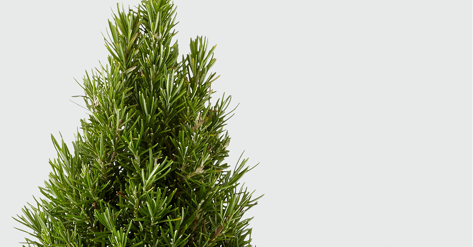 Fall Fresh Rosemary Tree - Image 2 Of 2