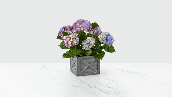 Deep Twilight Hydrangea - Image 1 Of 3