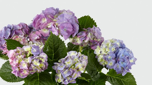 Deep Twilight Hydrangea - Image 3 Of 3