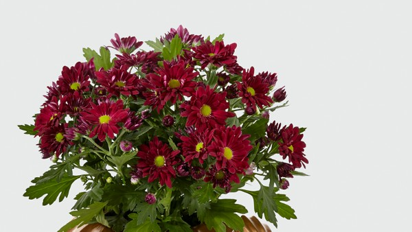 Harvest Joy Mum Plant - Image 3 Of 3