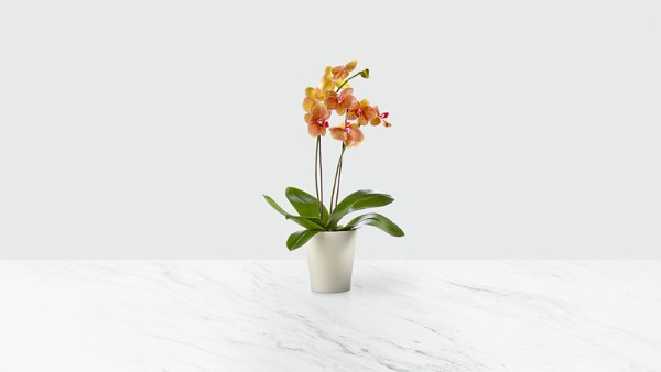 Color Burst Orchid - Image 1 Of 2