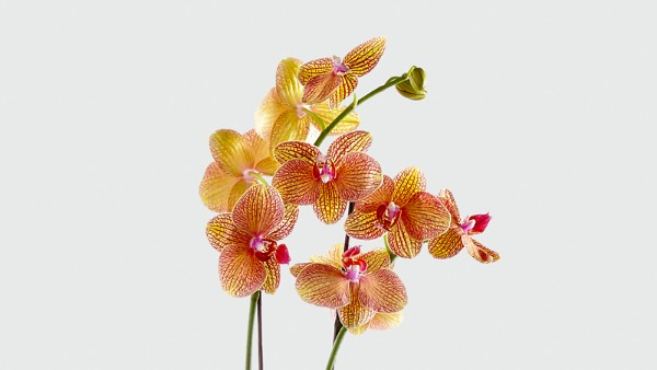 Color Burst Orchid - Image 2 Of 2