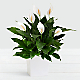 Premium Peace Lily in Large White Tin - Thumbnail 1 Of 2