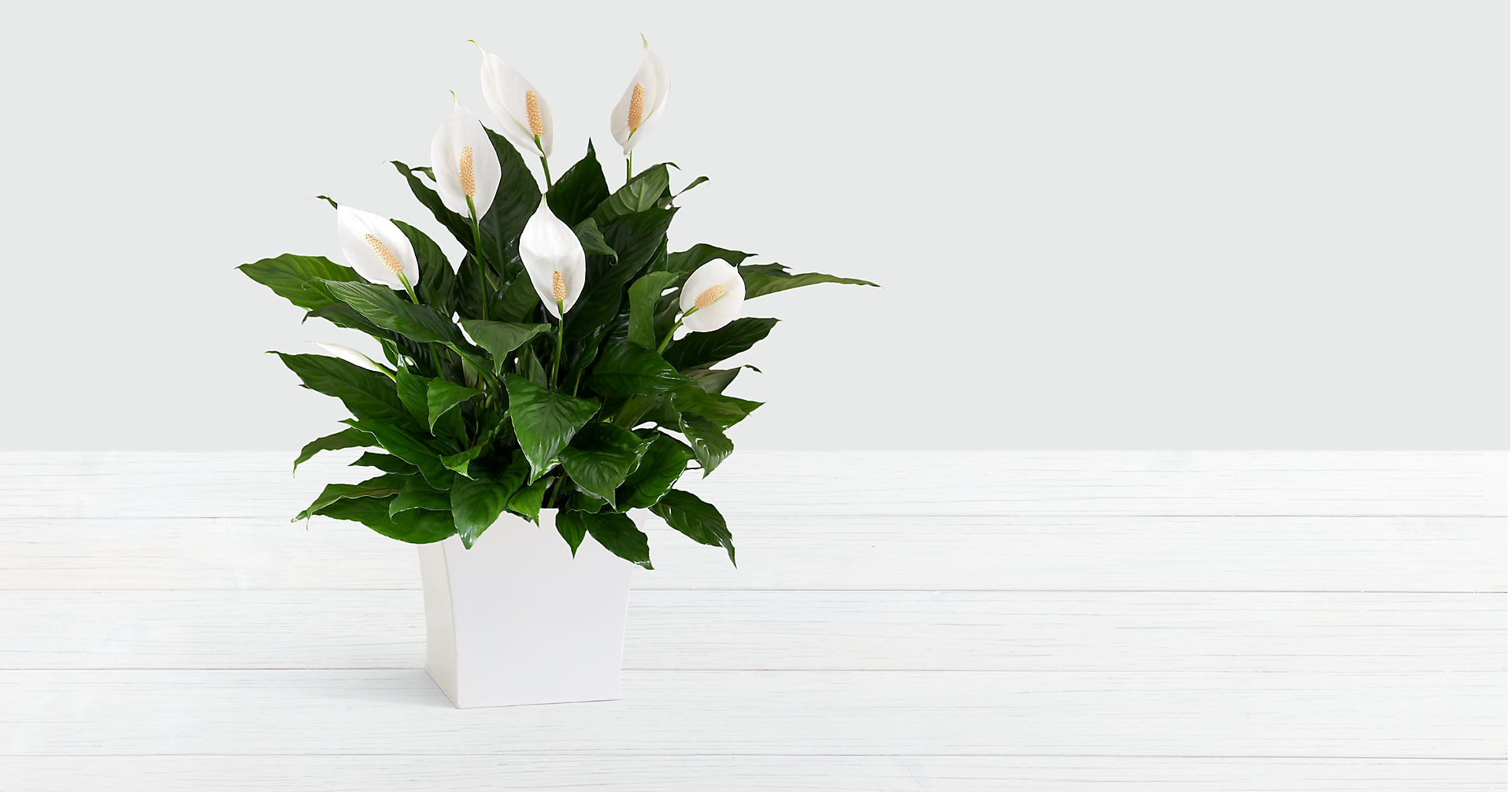 Premium Peace Lily in Large White Tin - Image 1 Of 2
