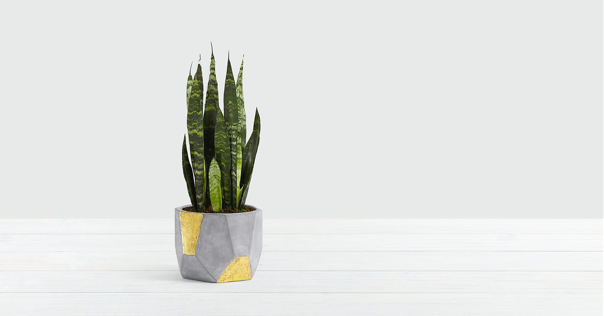 Snake Plant - Image 1 Of 2
