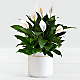 Peace Lily - Thumbnail 1 Of 2